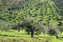 Plantation des olives Photographie stock libre de droits