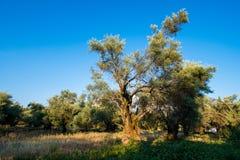 Plantation des oliviers Photos libres de droits