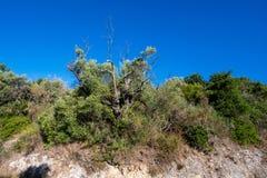 Plantation des oliviers Photo libre de droits