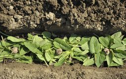 Plantation des plants de pommes de terre Images libres de droits