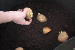 Plantation des pommes de terre Photos libres de droits