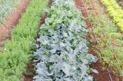 Plantation des tomates image stock