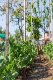 Plantation des tomates Photographie stock