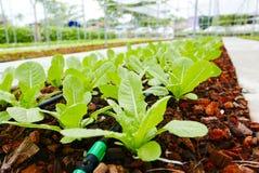 Plantation des tomates Images stock