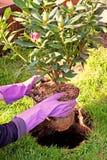 Plantation du buisson de rhododendron dans le jardin photos stock