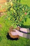 Plantation du buisson de rhododendron dans le jardin photographie stock libre de droits