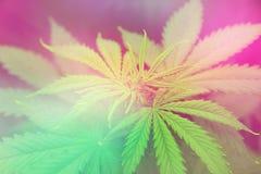 Plantation du cannabis Développez-vous élèvent dedans la tente de boîte Élevez le cannabis récréationnel juridique Tension légère photos stock