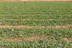 Plantation du melon vert Image stock