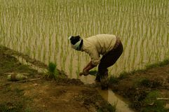 Plantation du riz Photographie stock libre de droits