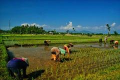 Plantation du riz dans Banyuwangi images stock