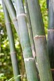 Plantation en bambou. Peut être utilisé comme fond Photographie stock