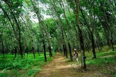 Plantation en caoutchouc Image libre de droits