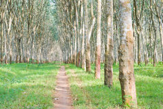 Plantation en caoutchouc Photos libres de droits
