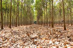 Plantation en caoutchouc photographie stock libre de droits