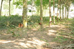 Plantation en caoutchouc Photo libre de droits