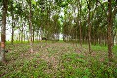 Plantation en caoutchouc Photo libre de droits