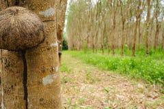 Plantation en caoutchouc dans les sud de la Thaïlande Photographie stock libre de droits