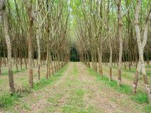 Plantation en caoutchouc pendant le matin Photos libres de droits