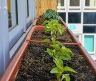 Plantation et élevage des poivrons nains et des tomates naines Poivrons nains et tomates naines micro dans la boîte de fenêtre de Images libres de droits