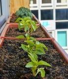 Plantation et élevage des poivrons nains et des tomates naines Poivrons nains et tomates naines micro dans la boîte de fenêtre de Image stock
