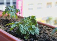 Plantation et élevage des tomates naines Tomates naines micro dans la boîte de fenêtre sur le rebord de fenêtre Jardin et concept Photographie stock libre de droits