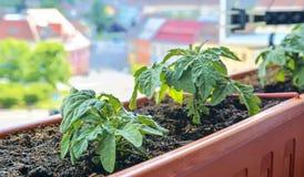 Plantation et élevage des tomates naines Tomates naines micro dans la boîte de fenêtre sur le rebord de fenêtre Jardin et concept Photo stock