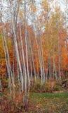 Plantation et érables d'Aspen en automne photo libre de droits