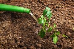 Plantation et arrosage des jeunes plantes Photo stock