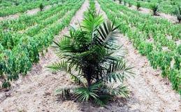 Plantation et manioc de paume Photo libre de droits
