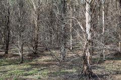 Plantation eucalypt trees Stock Photo