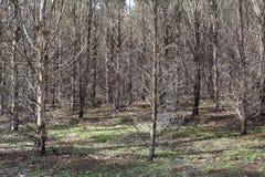 Plantation eucalypt trees Stock Photos
