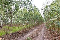 Plantation of Eucalyptus Stock Photos