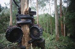 Plantation Eucalyptus (bluegum) trees being harvested for woodchipping Stock Photography