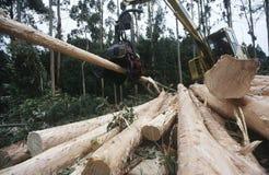 Plantation Eucalyptus (bluegum) trees being harvested for woodchipping Stock Image