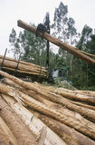 Plantation Eucalyptus (bluegum) trees being harvested for woodchipping Royalty Free Stock Image