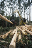 Plantation Eucalyptus (Bluegum) trees being harvested for woodchipping Stock Photos