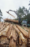 Plantation Eucalyptus (Bluegum) trees being harvested for woodchipping Stock Images