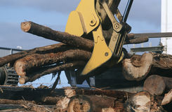 Plantation Eucalyptus (Bluegum) trees being prepared for woodchipping Stock Photography