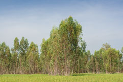 Plantation of Eucalyptus tree for paper industry Royalty Free Stock Photo