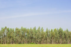 Plantation of Eucalyptus tree for paper industry Royalty Free Stock Images