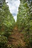 Plantation of eucalyptus tree Royalty Free Stock Image