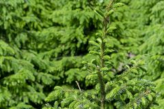 Plantation in Europe of high quality christmas trees, green nordmann fir. Plantation in Europe of high quality christmas trees, many green nordmann fir stock image