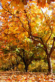 Plantation in fall Royalty Free Stock Photography