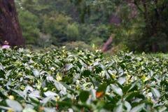 Plantation of famous Da Hong Pao Big Red Robe tea, china Royalty Free Stock Images