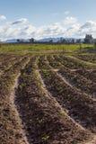 Plantation field Stock Photos