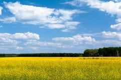 Plantation of flowering canola Stock Images