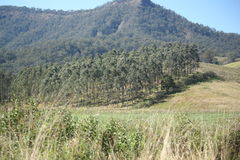 Plantation forest. With mountain in background. Blue sky. NSW, Australia Stock Image