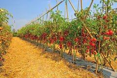 Plantation with fresh tomato Royalty Free Stock Photos