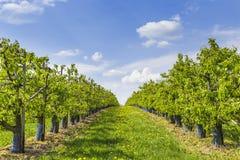 Plantation of fruit trees Stock Photography