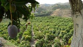 Plantation of fruit trees stock footage